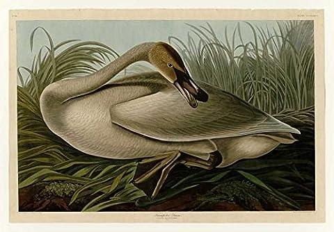 Le Musée de sortie–Art Carte postale–Audubon–Cygne trompette–Plaque