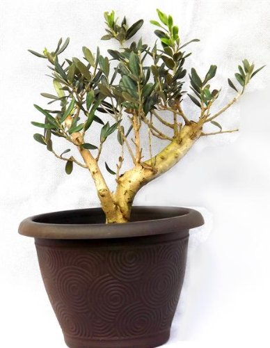 gifts-for-your-best-friend-beautiful-olivo-stelo-con-un-libero-pratico-e-decorativo-grande-spessore-