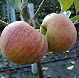 Apfelbaum Rubinette Rosso M 26 10 L Co.