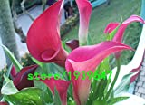 Neue Ankunft! 100 PC ein Satz Rare Rose Pink Bougainvillea Spectabilis Samen Perennial Bonsai Pflanze Blumensamen, # OLVKU2