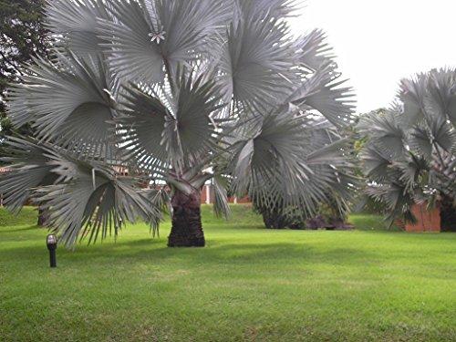 Bismarckia nobilis 80-100 cm Bismarck Palme Trachycarpus Palme