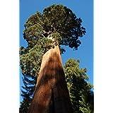 Seedeo Berg Lot de 50 graines de sequoia gigantea