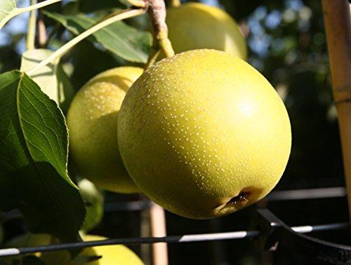 Birnenbaum, Nashi-Birne Nijisseiki, Pyrus Pyrifolia, Obstbaum winterhart, alte Sorte gelb , im Topf, 120 - 150 -