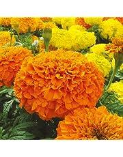 Seedscare Marigold F2 Hybrid, Dwarf Plant Big Flower Seeds (Pack of 20)