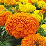 #8: Seedscare Marigold F2 Hybrid, Dwarf Plant Big Flower Seeds (Pack of 20)