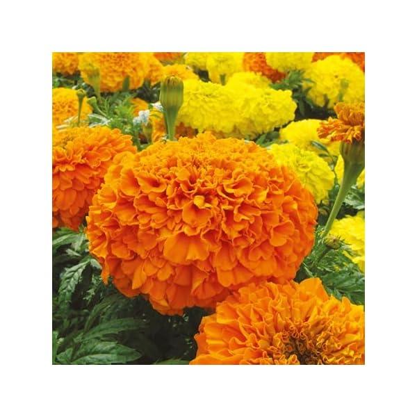 Marigold F2 Hybrid, Dwarf Plant Big Flower, 20 Seeds by Seedscare