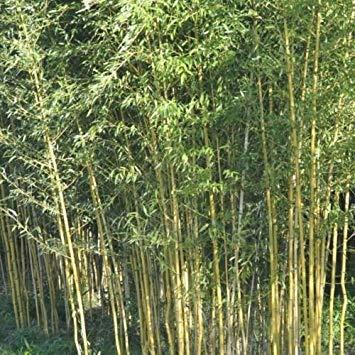 Sellify 25+ graines de bambou Phyllostachys jaune aureosulcata USA vendeur d'or en bambou