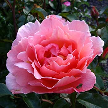 Rose Mum In A Million Ideal Gift For Mother S Day Plants