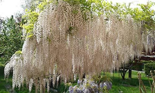Keland Garten - 10pcs Glyzinie/Chinesischer Blauregen (Wisteria) Kletterpflanzen Baumsamen Blumensamen Blütenmeer winterhart mehrjährig
