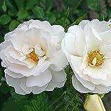Kordes Rosen Hella Kletterrose, weiß, 12 x 12 x 40 cm