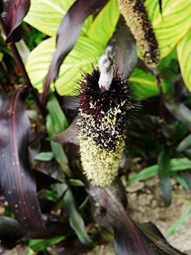 Cat semences de gazon, chatons alimentaires de semences de gazon 40pcs Jardin des plantes Antioxydant Animaux Santé Alimentation B015