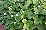 Fragaria vesca var. semperflorens 'Alexandria' - 3 Pflanzen im 0,5 lt. Vierecktopf