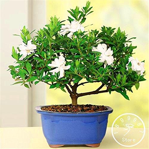 Heißer Verkauf! 100 PC-Gardenia Seeds (Cape Jasmin) -DIY Hausgarten-Topf Bonsai, erstaunliche Geruch und schöne Blumen für Zimmer, # 3Y0YW