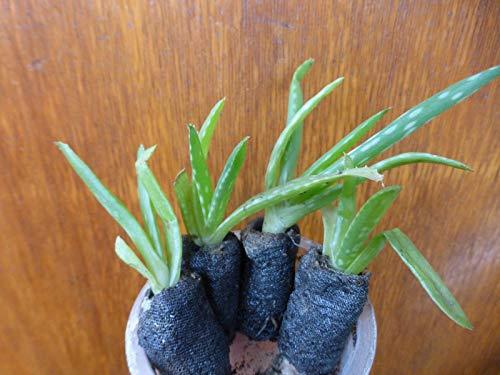 Semillas NO Solo Paquete S: Aloe Vera Plug Semillas