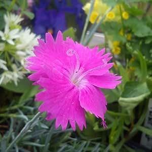 Hortiflor Bureau - Oeillet Anglais 'Neon Star Cherry' Dianthus (lot de 3 pieds)