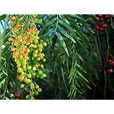 Portal Cool Las semillas del paquete: 20: Schinus molle California árbol de hoja perenne con pimienta rosa brillante Frutas