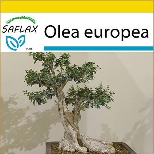 SAFLAX - Anzucht Set - Bonsai - Ölbaum - 20 Samen - Olea europea