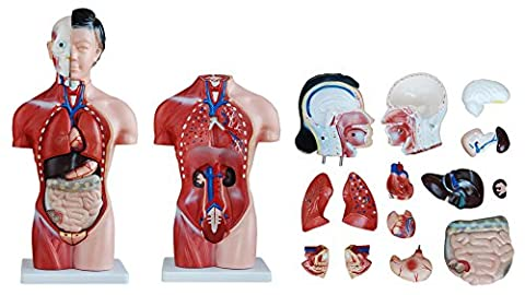 FEMALE TORSO 42CM TALL WITH 13 PARTS ANATOMICAL MODEL
