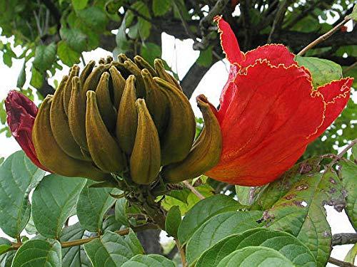 Portal Cool Spathodea Campanulata, Afrikanischer Tulpenbaum, schnell wachsend, rote Blume, 30 Samen