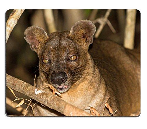 MSD-Tappetino per mouse in gomma naturale, gioco immagine ID 35347564 Fossa Cryptoprocta ferox the biggest predator del Madagascar, in foresta di Kirindy Mitea National Park