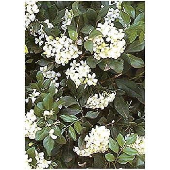 Rhyncospermum jasminoides o falso gelsomino vaso 18cm for Falso gelsomino in vaso
