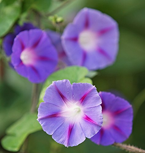 Morning Glory gemischte Samen - Ipomoea tricolor - 84 samen -