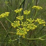 Fenchel, Süßfenchel - mehrjährig - Foeniculum vulgare (100 Samen)