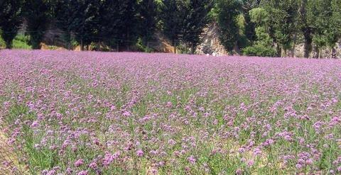 promocion-grande-100-piezas-de-lavanda-semillas-semillas-de-flores-purpuras-por-correos-de-hong-kong