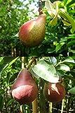 Duo-Birne Duo-Busch-Baum Gute Luise-Rote Williams süß-aromatisch 120-150 cm grün-rotes Obst