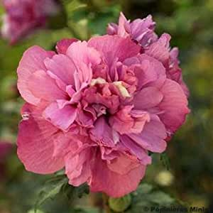 Hibiscus syriacus Freedom - Althéa rouge