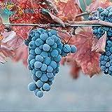 Pinkdose 50pcs sehr seltene Goldfinger Weinrebe Pflanzen Erweiterte Obst Bonsai Natur Wachstum Grape Köstlicher Fruchtpflanzen Für Hausgarten: Gelb