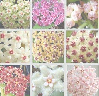 Vente chaude 2016 20 Couleurs graines rares de hoya Graines de fleurs 50pc/paquet Bonsai Graines Livraison gratuite Maison et jardin 3