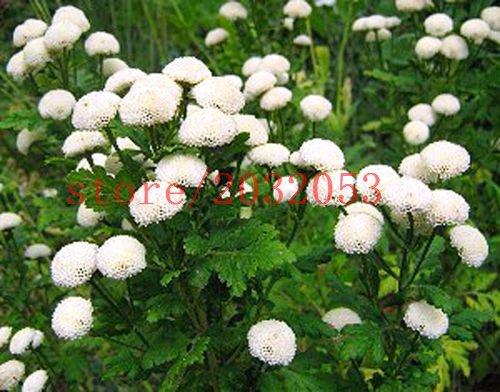 100 pièces blanches graines de marguerite de boule de neige FLEURS - Chrysanthemum Tanacetum parthenium graines de fleurs pour la maison jardin