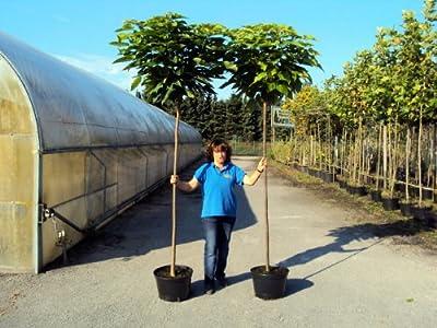 """Kugel - Trompetenbaum - Catalpa bignonioides """"Nana"""" Containerpflanzen Stammhöhe 200 cm - Solitärbaum von Gartencenter Bartels bei Du und dein Garten"""