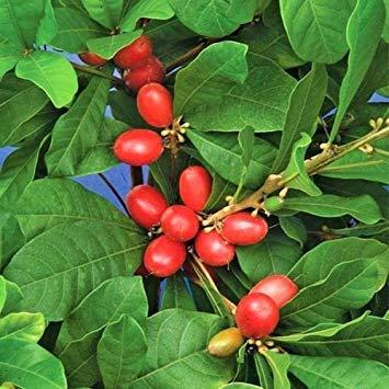 Tropische Beeren (Miracle Fruit @@ Synsepalum dulcificum seltene Tropische exotische Beere Essbare 3 Seeds)
