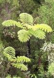 Cyathea glauca - Baumfarn - 100 Samen