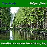 Shopmeeko ^^ Famiglia Cupressaceae Taxodium Ascendens ^^^^ 300pcs, Stagno ampiamente coltivato Cipresso ^^^^, Albero conifera deciduo Chi Shan ^^^^