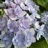 lichtnelke - Gefüllte Teller-Hortensie (Hydrangea macrophylla) You&Me® Romance(s) BLAU