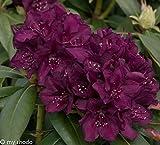 Rhododendron. 2 Liter blau/violett. 1 Pflanze