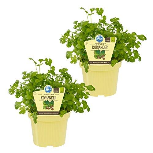 Dominik Blumen und Pflanzen, Bio-Kräuter Koriander-Pflanzen, 2 Stück , 12 cm Topf