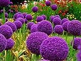 100Purple Giant Allium giganteum Belle Graine de Blumen Plant Garten die Quote Graskugel 95% Blume selten für Kinder