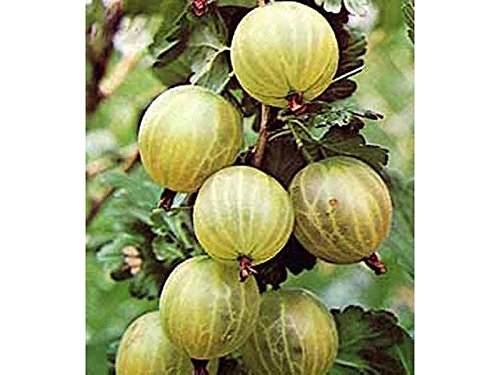 uva-spina-bianca-gialla-1-pianta