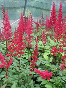 Astilbe x arendsii rot - Prachtspiere