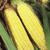 Suttons Seeds 180257 F1 Graines de maïs doux Sundance