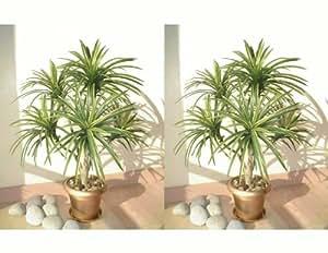 2 st ck yucca palmen dekob ume 91cm ohne t pfe amazon. Black Bedroom Furniture Sets. Home Design Ideas
