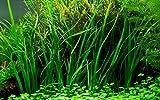 Tropica Aquarium Pflanze Cyperus helferi Wasserpflanzen Aquariumpflanzen