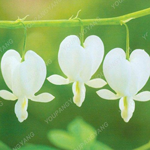 100 graines / pack japonais Radiata Seeds Aigrette Orchid Seeds espèces du monde Orchidée Rare Fleurs blanches Orchidee Jardin orange plante
