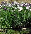 Japanische Sumpf-Schwertlilie / Iris Ensata im 9x9 cm Topf von WFW wasserflora bei Du und dein Garten