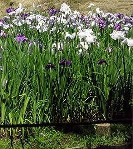 Japanische Sumpf-Schwertlilie / Iris Ensata im 9x9 cm Topf