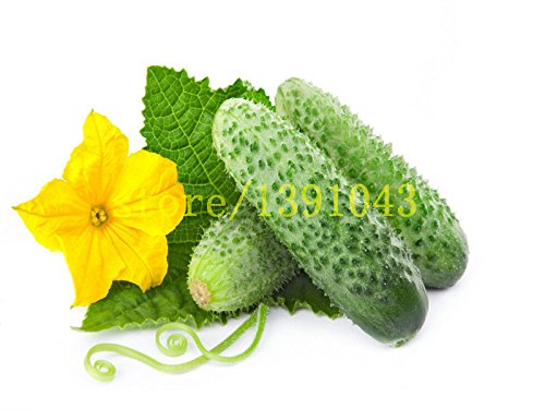 graines de concombre 100 pcs Graines long concombre de légumes japonais pour la maison graines NON-OGM légumes pour la maison et le jardin de plantation